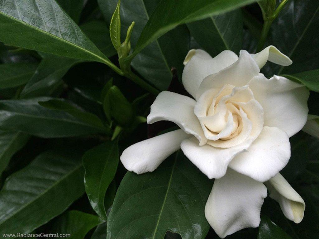 Gardenia from my garden - www.RadianceCentral.com